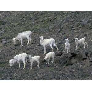 Dall Sheep on the Mountainside of Wrangel Saint Elias