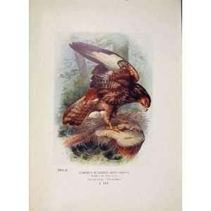 Common Buzzard Falcon Bird Egg Colour Antique Old Print