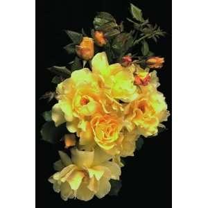 Lemon Meringue (Rosa Climbing)   Bare Root Rose: Patio