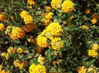 18 Yellow Flowering Lantana, Plants Plugs Small Shrub