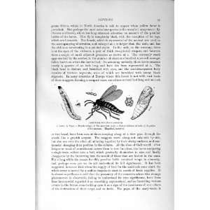 : NATURAL HISTORY 1896 ARMY WORM FLY LARVA PUPA MIDGE: Home & Kitchen