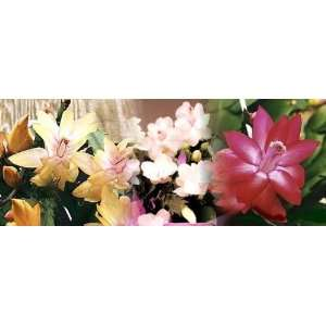 Christmas Cactus 3 Plants   Yellow/White/Red   4 Pots