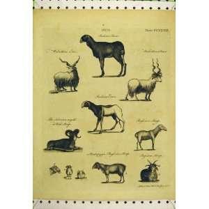 Indian Ram Sheep Ewe Siberian Wild Russian Old Print: Home